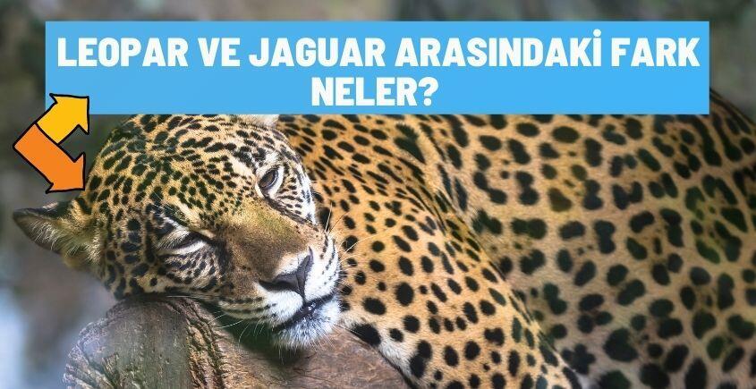 leopar ve jaguar arasindaki farklar